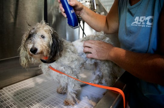 Sarah Frogge, of the Animal Refuge Center in North Fort Myers, cares for Lucy, one of 16 dogs rescued from flood ravaged St. Landry's Parish in Louisiana (Hurricane Barry) at the refuge on Sunday.