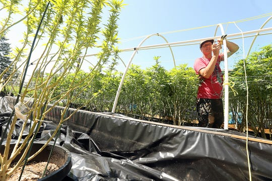 Kevin Kelly ties up a trellis for the marijuana plants at Hesperides Farms in Port Orchard on Monday, July 22, 2019.