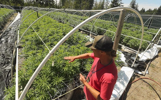 Kevin Kelly talks about the need for trellis additions as the marijuana plants grow even taller at Hesperides Farms in Port Orchard on Monday, July 22, 2019.