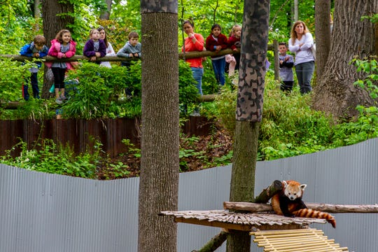 In this May 29, 2019 photo, a crowd watches a female red panda named Wasabi on display at John Ball Zoo in Grand Rapids, Mich.