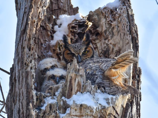 """Great Horned Owl and Chicks in Nest,"" by John Fortener of Allen Park, shot at Island Park in Ann Arbor."