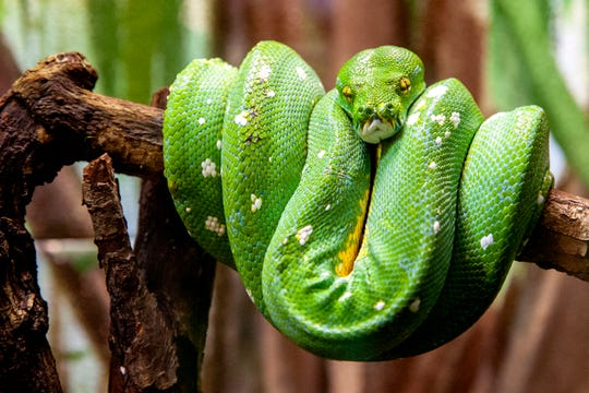 This March 8, 2019 photo shows a green tree python at John Ball Zoo in Grand Rapids, Mich.