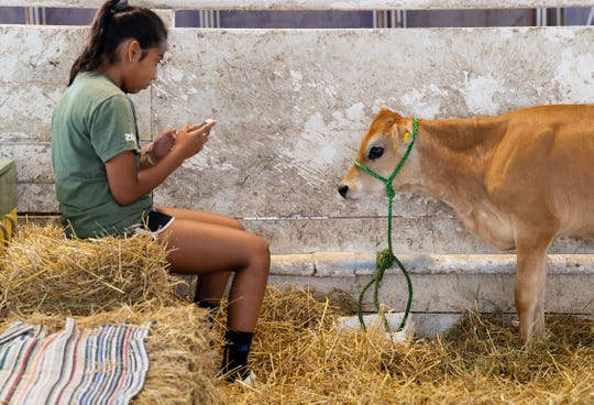 Mia Koester, 14, photographs her friend's Jersey calf, Stella, in the dairy barn at the 2019 Vanderburgh County Fair Monday afternoon.
