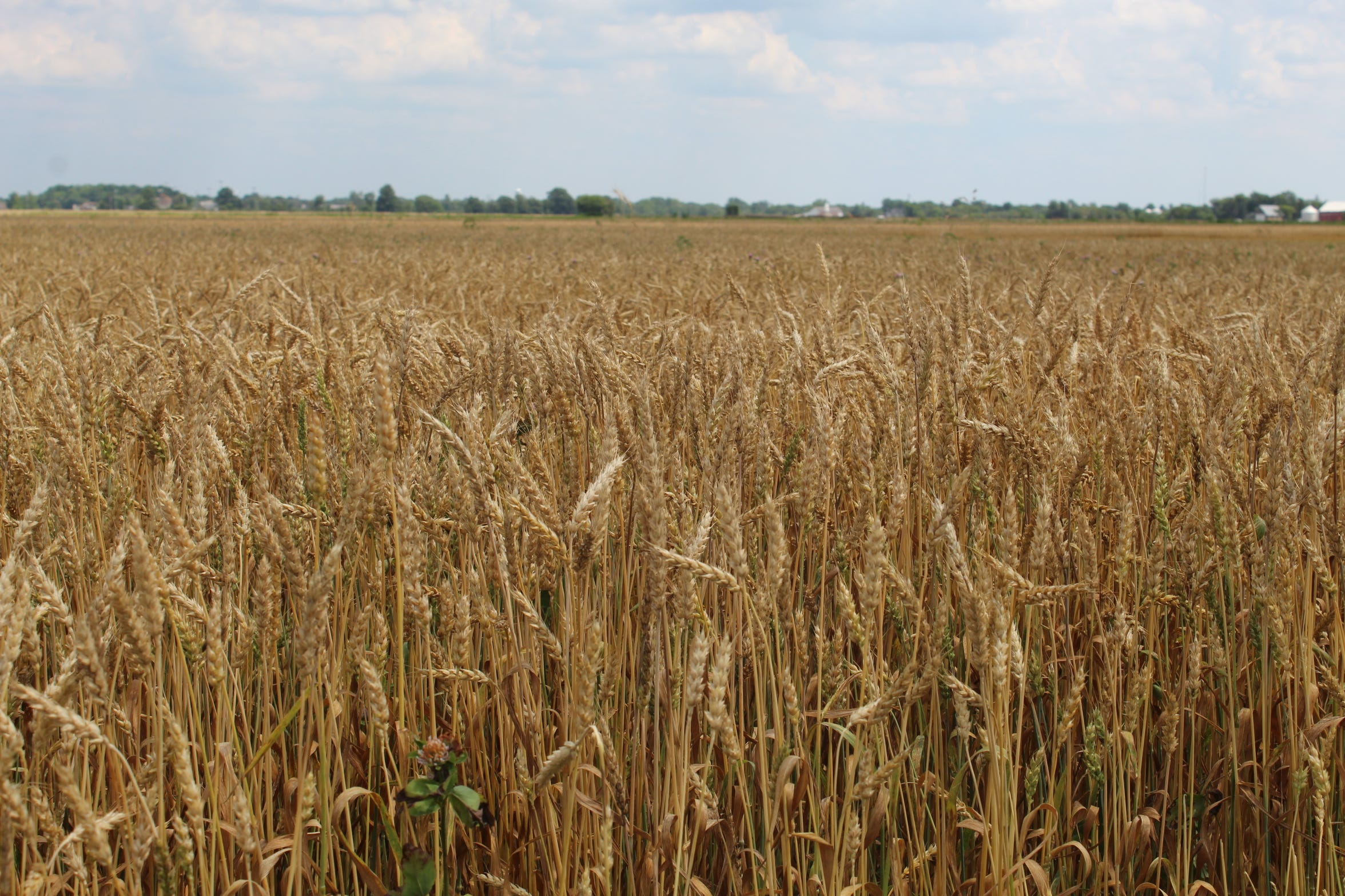 Wheat is usually Ottawa County's third most abundant grain crop, behind soybeans and corn. This year, county wheat farmers are looking at 80% to 90% losses for wheat.