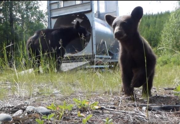 Bear 324 and its cub are released in North Fork after the sow killed a marmot in Rising Sun Campground earlier this month.