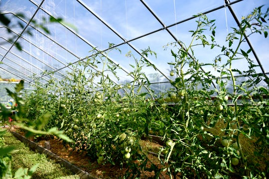 Tomato plants grow inside the greenhouse at Riddle Elementary School's garden in Lansing's Westide Neighborhood.