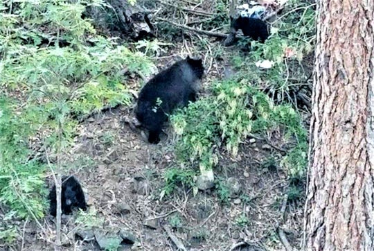 A mama bear and her two cubs venture out during the day searching for food and water.