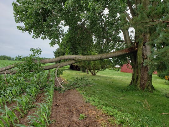 Only a bit of the corn was damaged by this fallen tree limb.