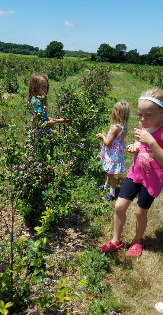A group of 4-Hers picked some ripening blueberries while on a tour of the Steffen Cherry Orchard last week at Fort Atkinson.  The stop was a part of a careers tours featuring opportunities in agriculture.