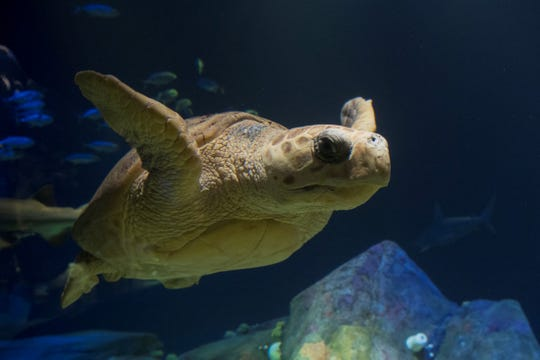 A Loggerhead sea turtle at New York Aquarium on Coney Island.