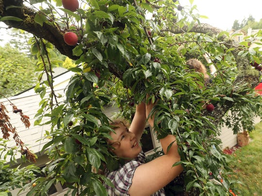 Jennifer Passage,12,  steadies herself against the tree trunk as she reaches for plums from atop the adjacent garden wall while gleaning the fruit with fellow Kitsap Harvest volunteers at a home in East Bremerton on Tuesday, July 23, 2019. Gleaning is the process of harvesting surplus produce that won't make it to farmers' markets. The glean team of Kitsap Harvest distributes fresh produce amongst 11 local community organizations such as Peninsula Community Health Services, food banks and housing shelters.
