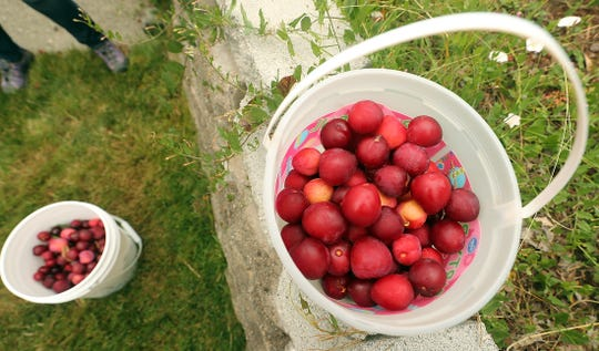 Buckets of freshly picked plums await weighing at a home in East Bremerton on Tuesday, July 23, 2019.