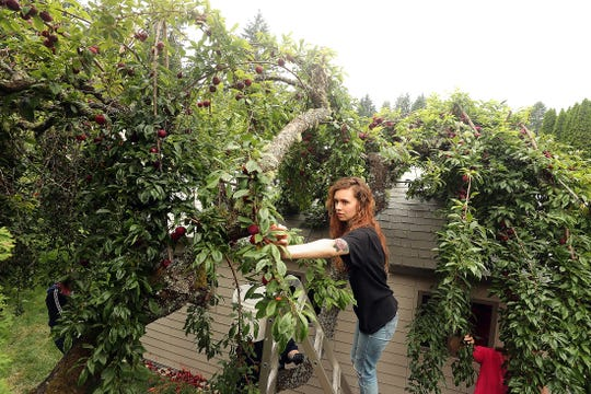 Perched high atop a ladder Sydney Pepi picks plums from the branches of a tree at a home in East Bremerton on Tuesday, July 23, 2019.