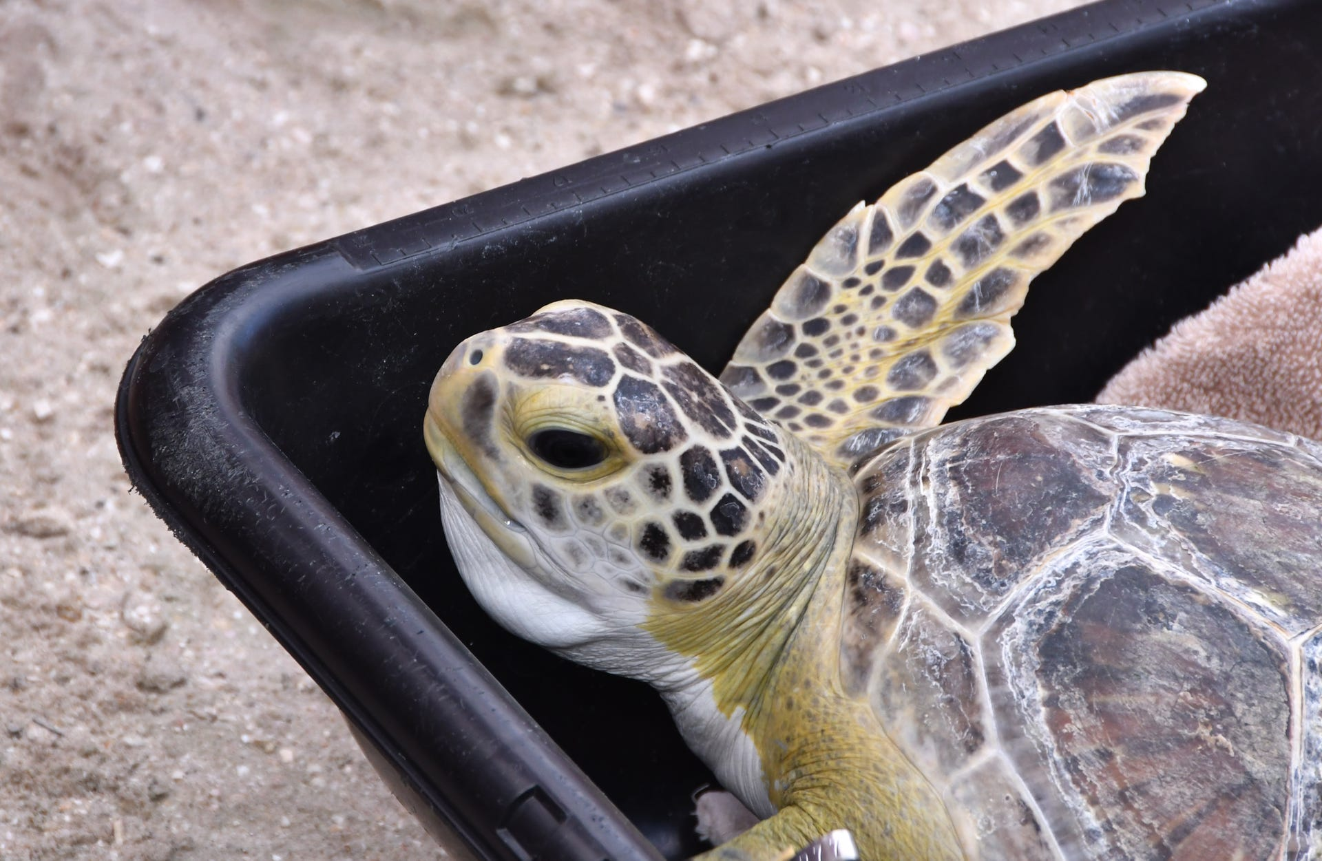 Two sea turtles released into the Indian River
