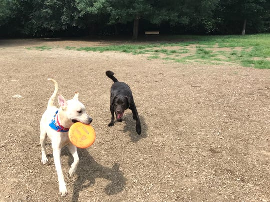 One year old pups Kobi (left) and Tucker (right) run through the Newport Dog Park on a warm July afternoon.