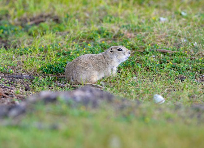 The population of Richardson's ground squirrels has ballooned in city parks this year.