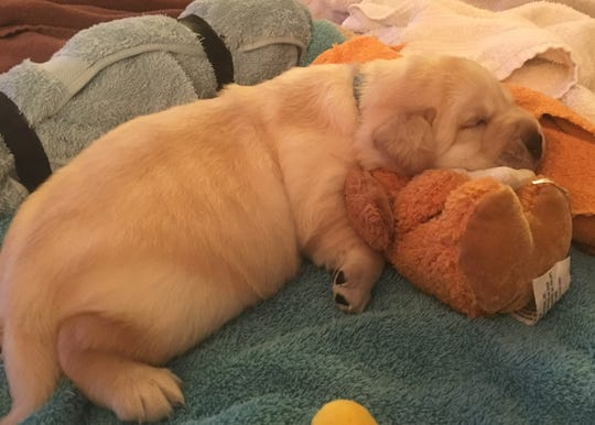 Champ, as a puppy, sleeps on a stuffed toy in February 2018.