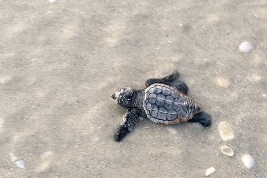 Newly hatched sea turtles head toward the Gulf on Vanderbilt Beach in a video captured Wednesday, July 17, 2019.