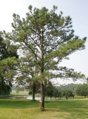 In this Sept. 14, 2005, file photo, a moon tree planted from seeds taken to the moon on Apollo 14 in 1971 sits at the Florida Department of Agriculture in Tallahassee, Fla. Five trees planted in New Mexico from seeds taken to the moon during the Apollo 14 and given to the state by NASA have all died or been forgotten, according to officials at the locations where the trees were planted decades ago.