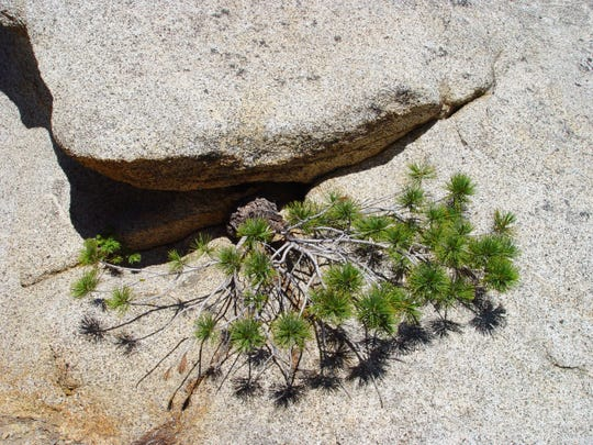 Sheltered by a rock overhang, this natural bonsai grows down the boulder.