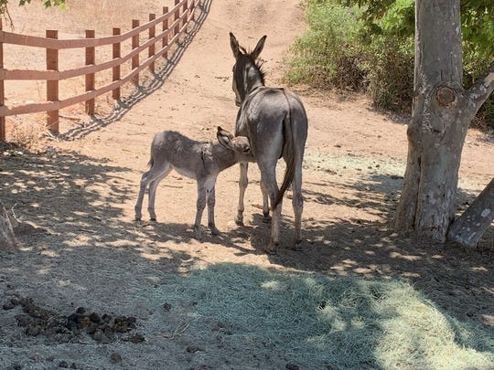 A mother and baby burro were rescued from the neighborhood surrounding UC Riverside last week by the Riverside County Department of Animal Services and the not-for-profit DonkeyLand.