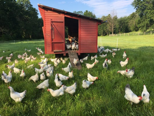 Delaware breed chickens are a rare heritage breed at Yellow Bell Farm.