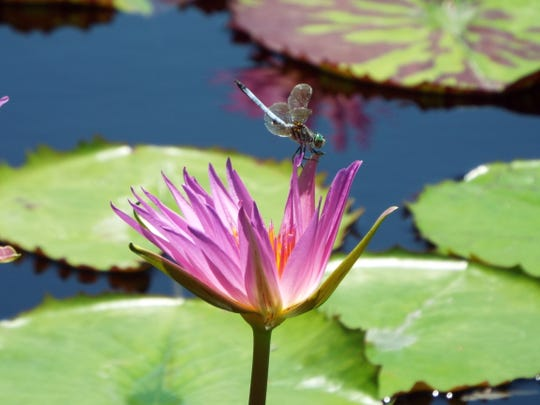 A dragon fly lands on a bloom at San Angelo's International Waterlily Collection in Civic League Park, 2 S. Park St.