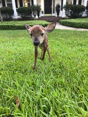 Fred Conrad found this baby deer in his neighbor's yard.