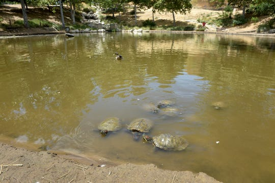 Turtles swim in a pond at Oak Canyon Community Park, which was damaged by the Woolsey Fire in November and subsequent storms. After several months, repairs to the Oak Park recreation spot may be on the way, but dozens of turtles need to be relocated in the next few weeks.