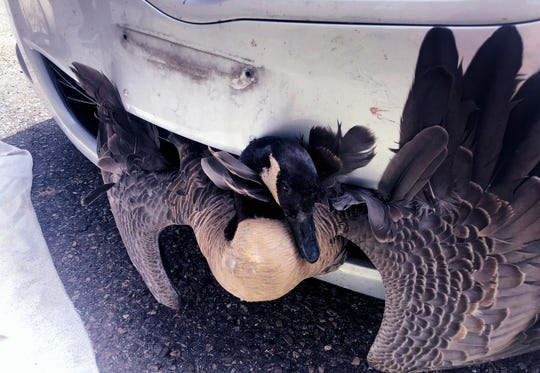 In this Saturday, July 20, 2019, photograph provided by Tanisha Tyler, a goose is stuck in the grille of a pizza delivery driver's car in Burlington, Vt. The delivery man slammed on his brakes when he saw the goose waddling across the road, and heard a thud when he struck the bird. When he returned to the pizza shop he was surprised to see the goose, alive, sticking out the front of his car. The goose expected to make a full recovery, according to authorities. (Tanisha Tyler via AP)