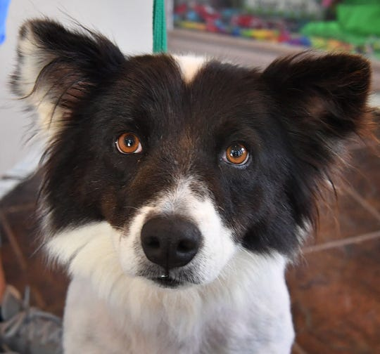 Olivia is a three-year-old, white and black, Border Collie and Corgi mix. She has been vaccinated, spayed and microchipped. Olivia is friendly, loves attention and is available for adoption at the Humane Society of Wichita County.