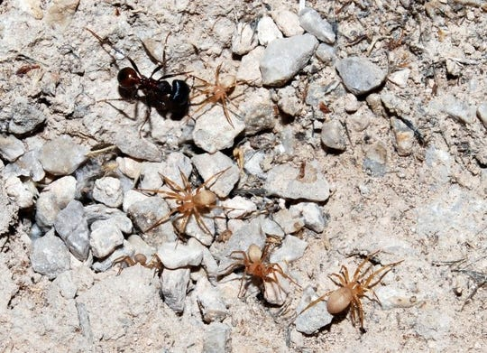 Myrmecicultor chihuahuensis spiders are seen in this contributed picture. After a discovery 20 years ago, the spider is officially named in a new family of spiders.