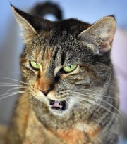 Sheeba is a four-year-old, tabico, domestic short-haired cat. She has been spayed, vaccinated and microchipped. Sheeba is sweet, calm and is available for adoption at the Humane Society of Wichita County.