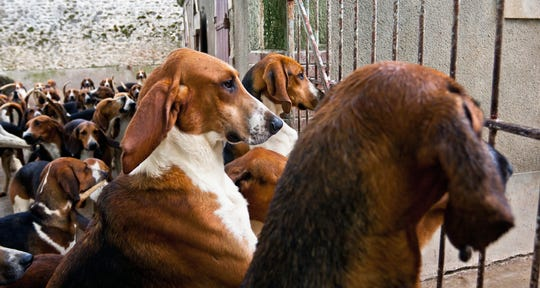 Doggie dinner time at the Chateau de Cheverny is something for canine-lovers to behold.