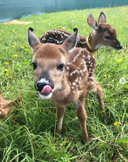 "Twins Chestnut and Buckeye were abducted by well-meaning ""fawn-nappers"" who thought their mother had abandoned them. Call a licensed fawn rehabber before removing an animal from the wild."