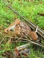 A fawn in distress often lays with its legs splayed out and its head resting on the ground.