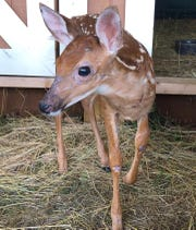 Orchid the fawn had a severe allergic reaction when a would-be fawn rescuer fed her an inappropriate diet. Her skin lesions have been improving since she was switched deer replacement formula at Edith Allen Wildlife Rescue in July 2019.