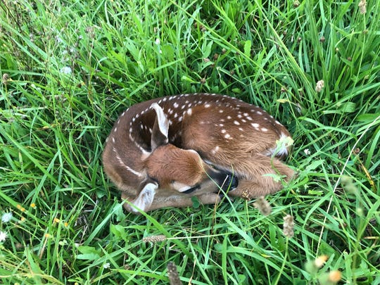 A healthy fawn should curl up like a croissant - legs hugged close to the body and head resting daintily on its torso.
