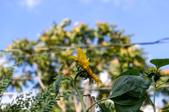 A sunflower Marvin Porter grew to 13 feet tall stretches high into the sky against the backdrop of power lines and trees at the Porter household in Clarksville, Tenn., on Tuesday, July 23, 2019.