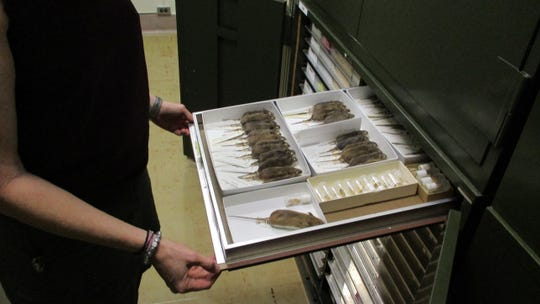 Cindy Opitz, director of research collections with the University of Iowa demonstrates how current UI storage for the mammal collection works.
