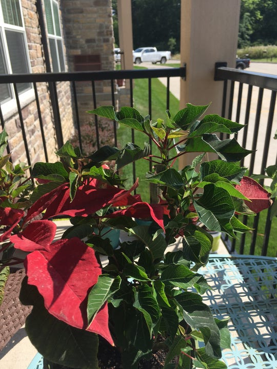 Believe it or not, this poinsettia has been blooming since last December.