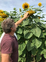 Mark Shapley checks out one of the sunflowers in his garden in Ridgeland.