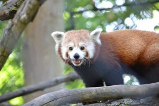 Doofah, Potter Park Zoo's new red panda.