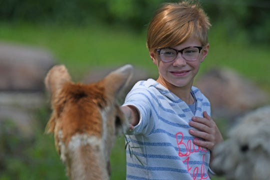 Isabella Bauman, 10 years old of Mansfield, feeds a hungry alpaca during lunch at Picnic Days at Alpaca Meadows.