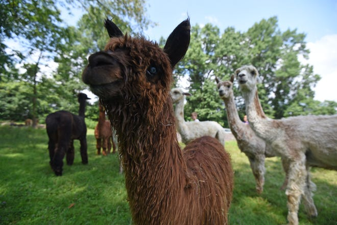 Animals from Alpaca Farms hosted a picnic in their pasture at Alpaca Meadows on Wednesday.