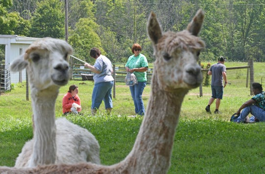 Visitors set up their lunch in a pasture full of alpacas Wednesday afternoon at Alpaca Meadows on Rock Road during their Picnic Days event. The farm will host two more picnic opportunities on August 7 and 21.