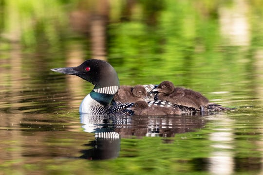A pair of common loons hatched three chicks in northern Wisconsin in 2019. It's only the second time the Loon Project has documented a pair hatching three chicks in 27 years of studying loons in Wisconsin.