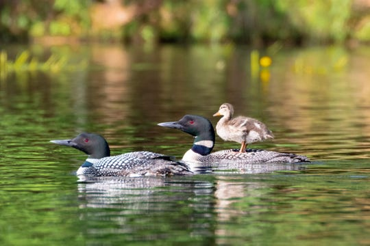 The Loon Project has documented a pair of common loons in northern Wisconsin that adopted a mallard duckling that was separated from its family in June 2019. The duckling has adopted loon chick behaviors including riding on its parents' backs.