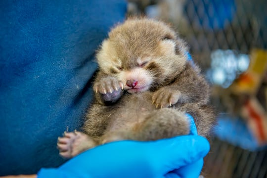 The Milwaukee County Zoo announced a baby red panda was born in June. Here the cub is at 3 weeks old. It is the second red panda to be born at the zoo.
