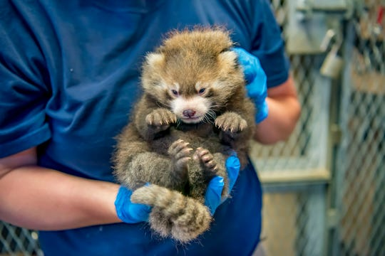 The Milwaukee County Zoo announced a baby red panda was born in June. Here is the cub at 4.5 weeks old. It is the second red panda to be born at the zoo.